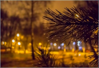 Ветка сосны с каплями дождя. Вечерний автозаводский парк